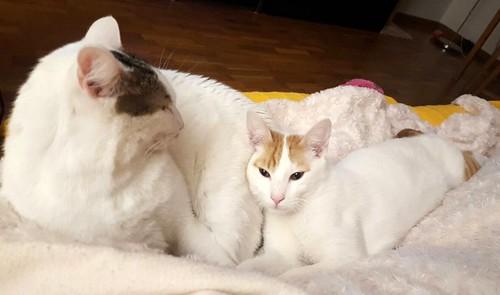 Gary, gatito blanco y naranja cruce Van Turco esterilizado muy activo nacido en Julio´16, en adopción. Valencia. ADOPTADO. 33076970953_699a440a6c