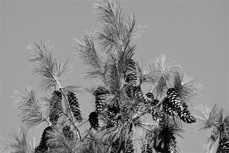 Pine Cones 14.03.2017