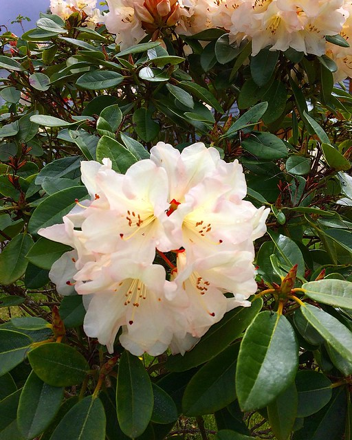 White rhododendron.