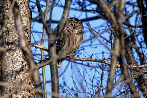Massena, NY: Barred Owl Bonus