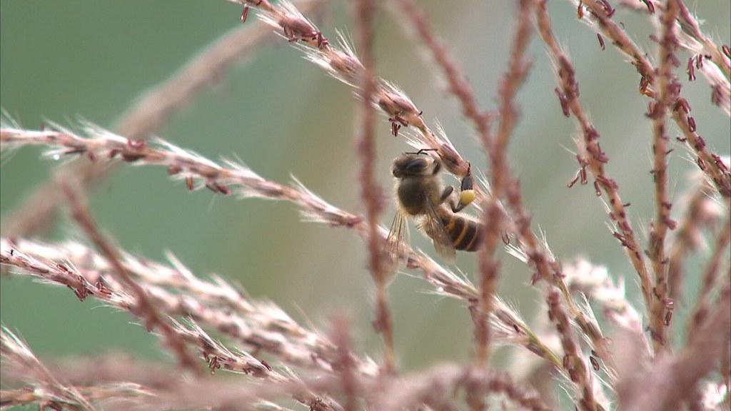 蜜蜂是授粉能力最強的昆蟲,卻有越來越多研究發現,一些農藥會讓蜂群迷航甚至死亡。