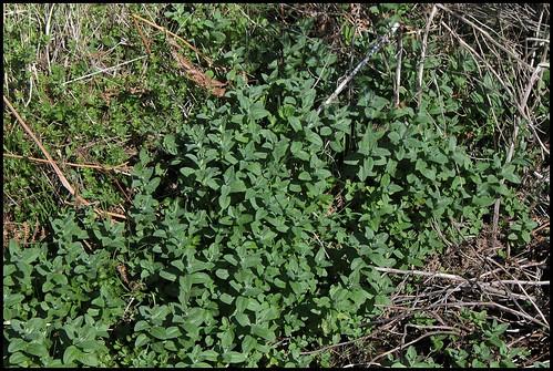 Mentha longifolia - menthe à feuille longue  33805591390_542cf3dc32