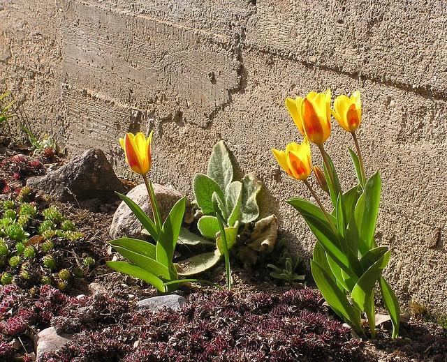 Tulipa kaufmanniana cv.