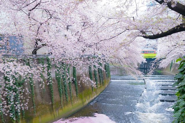 神田川 桜並木 2017