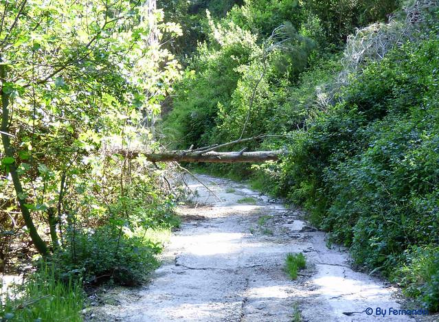 Les Casetes d'en Muntaner - Les Casetes Oest - Arbol caido en el acceso (09-04-2017)