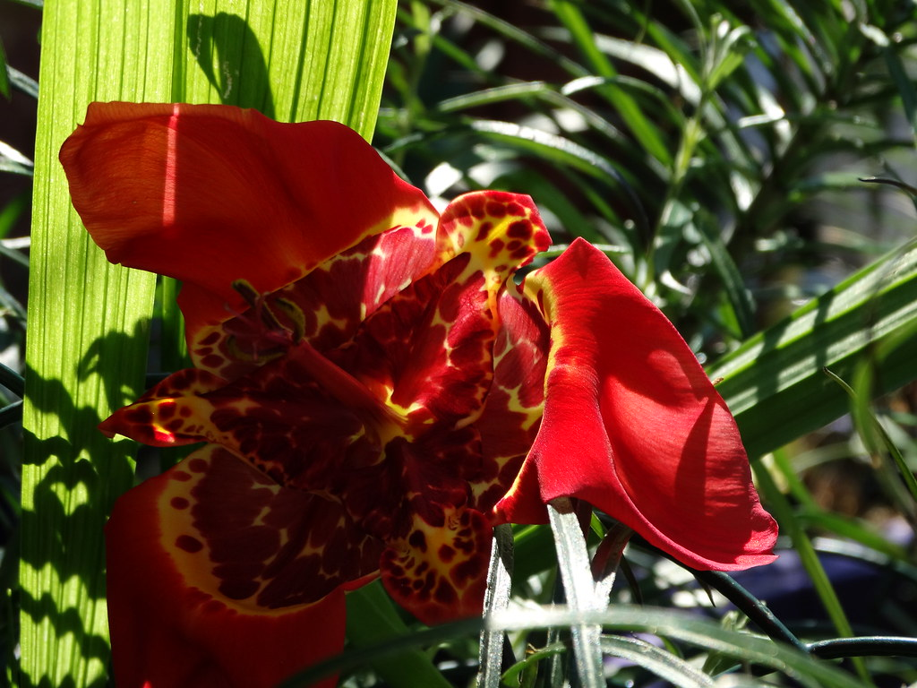 A Red Tigridia Lily Aka Mexican Shell Lily Flowers Bl Flickr