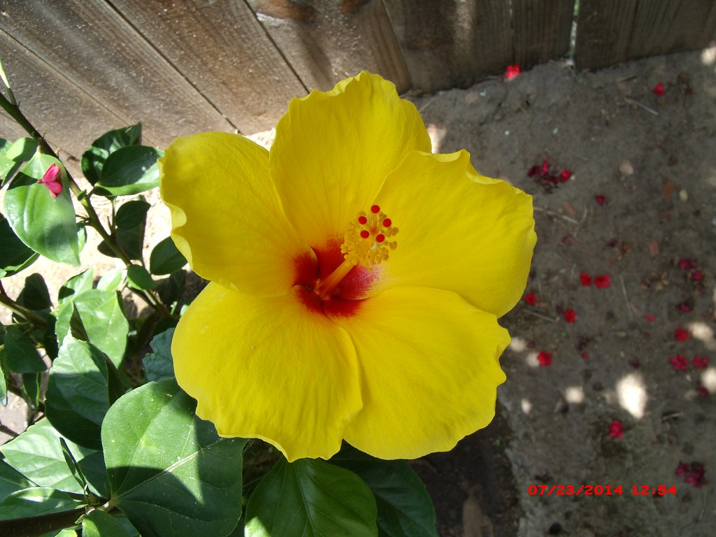 Single Yellow Hibiscus Flower With Red Center Gedsc Digita