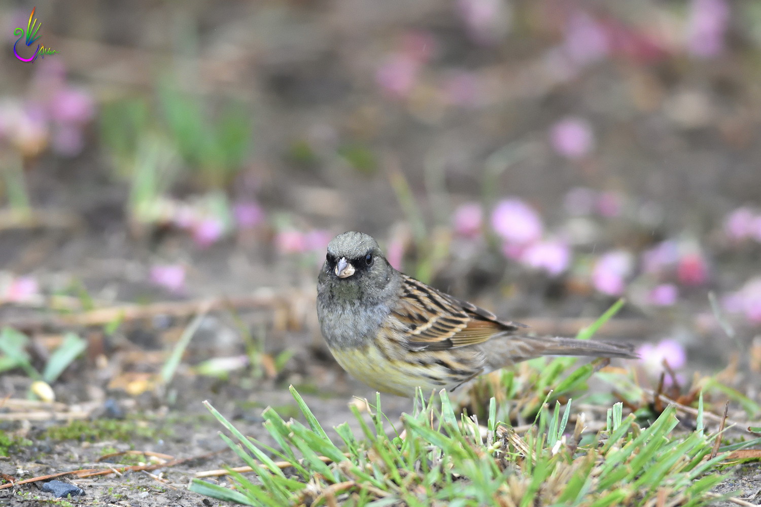 Black-faced_Bunting_7563