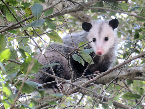 Young Virginia Opossum 03-20170313