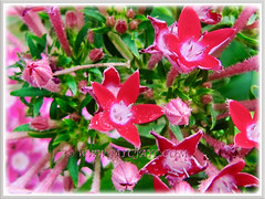 Red and pink-coloured blooms of Pentas lanceolata (Egyptian Star-cluster, Egyptian Star, Star Flower, Star Cluster, Pentas)