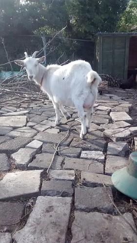 pregnant goat Apr 17 (1)