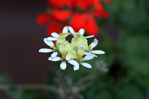 Pelargonium ochroleucum
