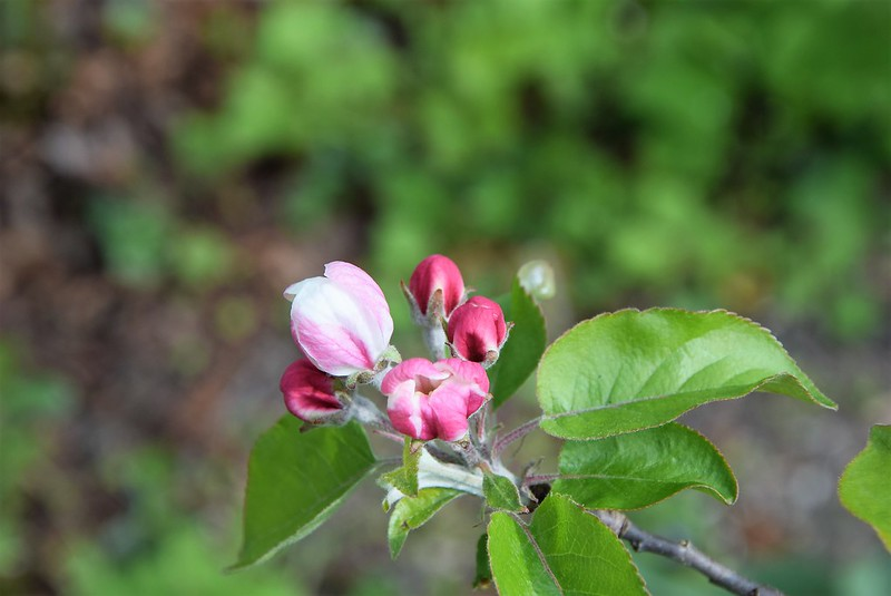 Apple Tree 06.04 (1)