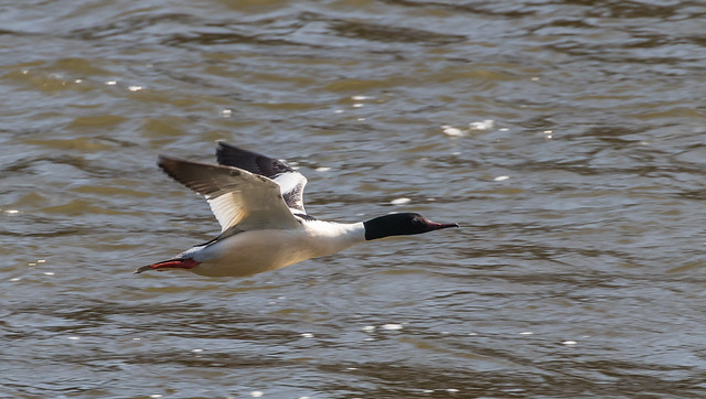 Male Goosander flying up River Severn. 100f_344