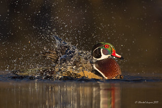 Glowing in the dark- Wood duck style | by Chantal Jacques Photography