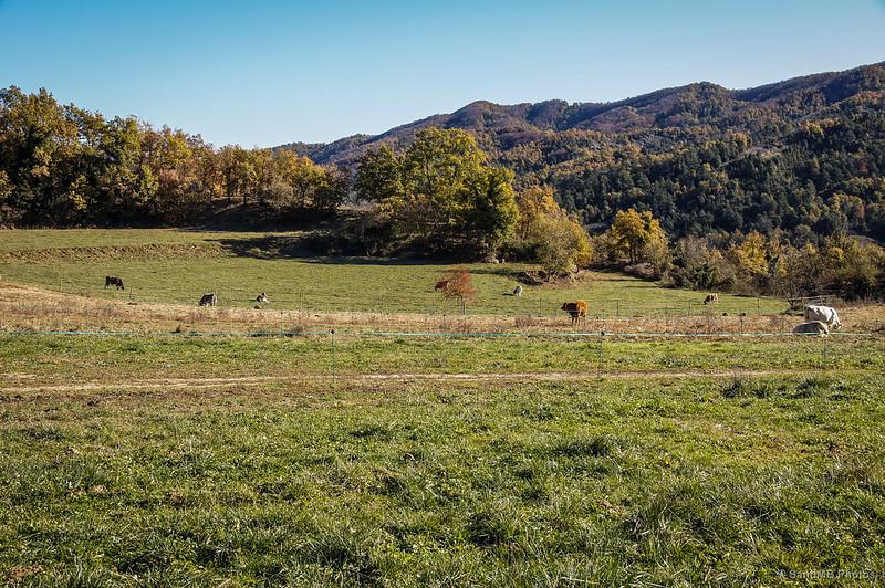 Vacas pastando en el Mir