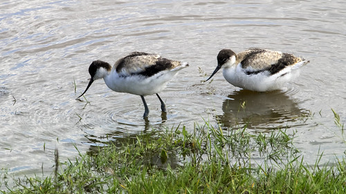 avocet chicks 377  (75)