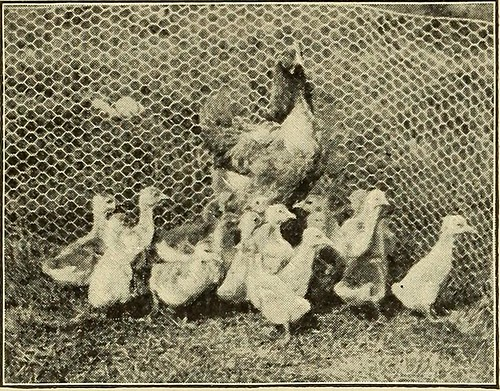 "Image from page 185 of ""Our domestic birds;"" (1913) 