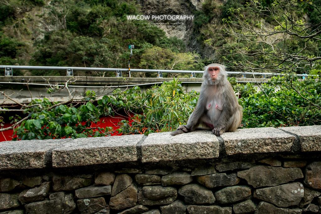 台東泰源看猴子3