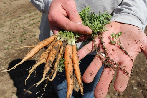 Big Carrots, Little Carrots | by Farm Fresh To You -