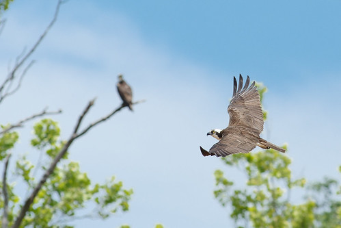 Osprey in Flight | by curtisWarwick