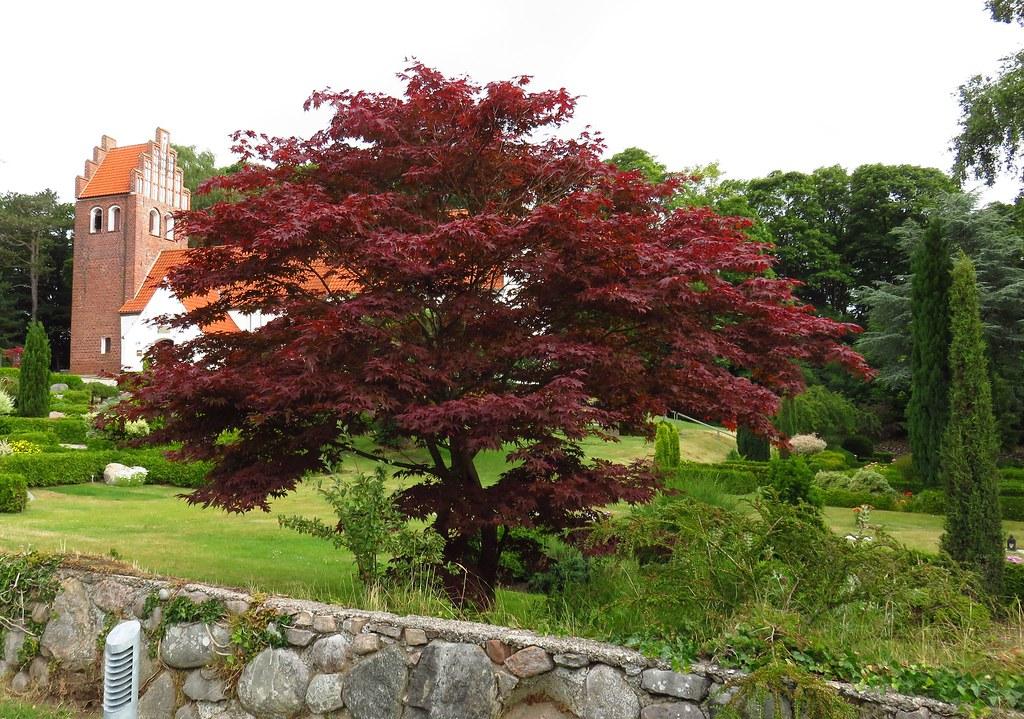 rød ahorn træ