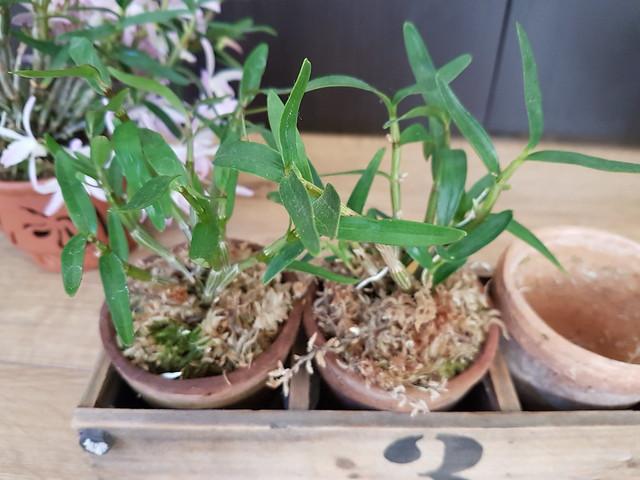 Dendrobium moniliforme 33096726071_c156683707_z