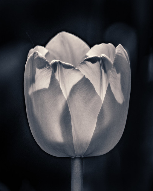 Tulip, Flower, Monochrome, Macro