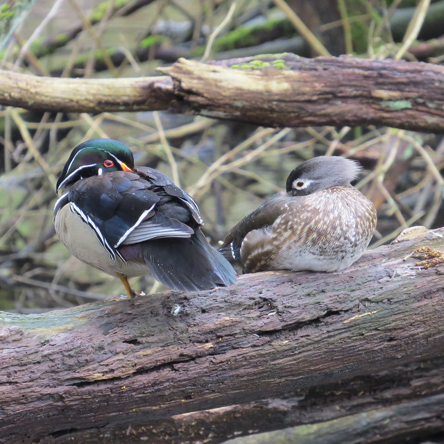 Wood Ducks - April 13, 2017 - Stanley Park, Vancouver