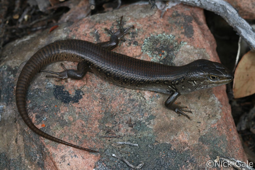 White's skink (Liopholis whitii) | by Nick Gale