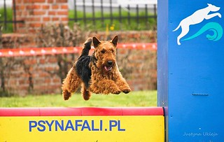 Romeo - welsh terier | by Na Fali Agility