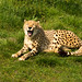 Cheetah Zoo Parc overloon