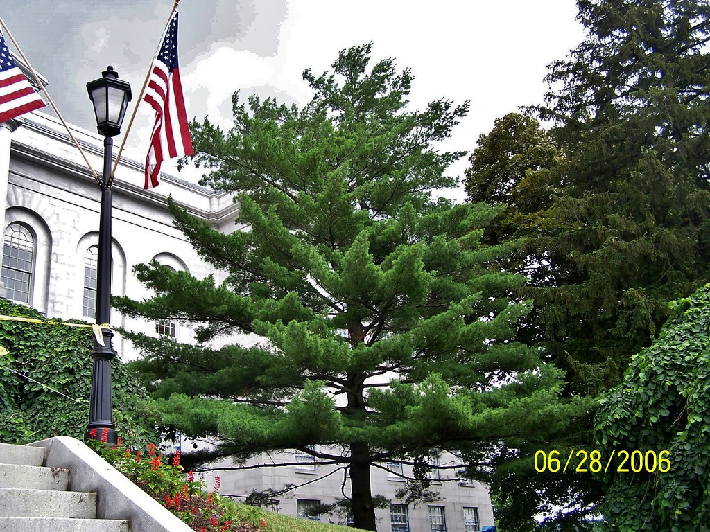 augusta maine maine state tree the eastern white pine p flickr
