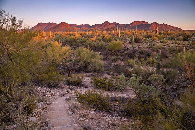 Saguaro Evening Stroll