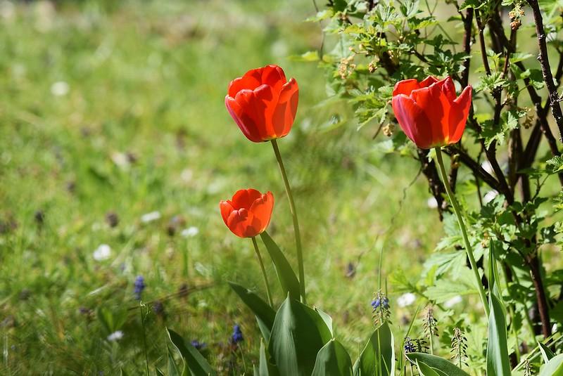 Tulips 23.04 (3)
