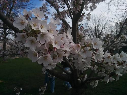 Sakura of Trinity-Bellwoods, 3 #toronto #trinitybellwoods #parks #spring #cherryblossom #sakura