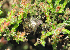 Heather Shieldbug - Rhacognathus punctatus