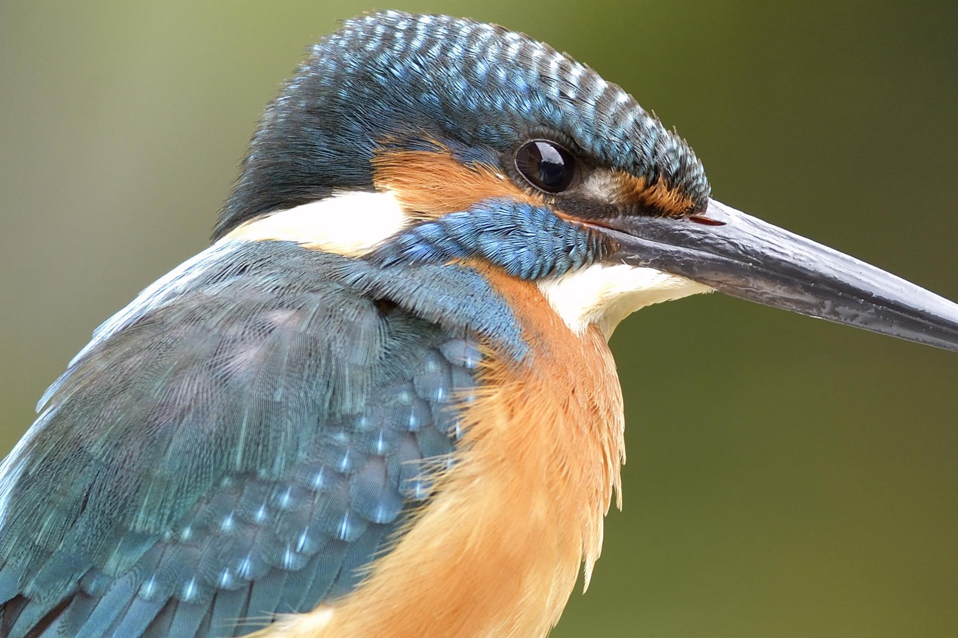 Common_Kingfisher_4992_O