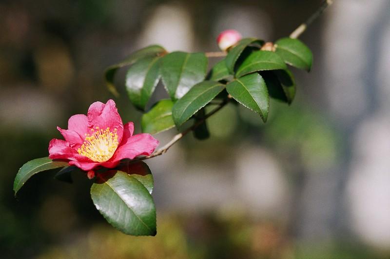 camellia | 椿