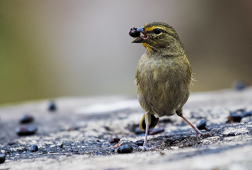 Cuba: Yellow-faced Grassquit