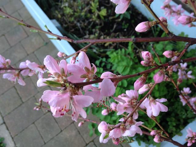Tendrils: Ice Peach blossom