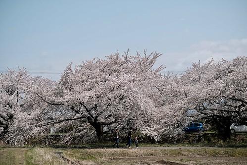 桜の花、舞い上がる道を 2017 3