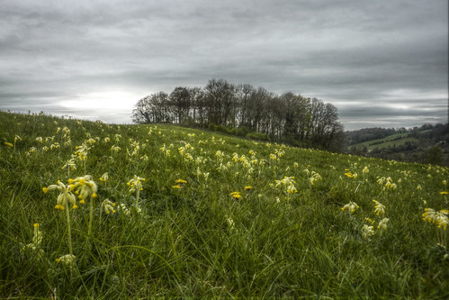 Sue Dance 60th Birthday Weekend - walk to Slad Valley - cowslips