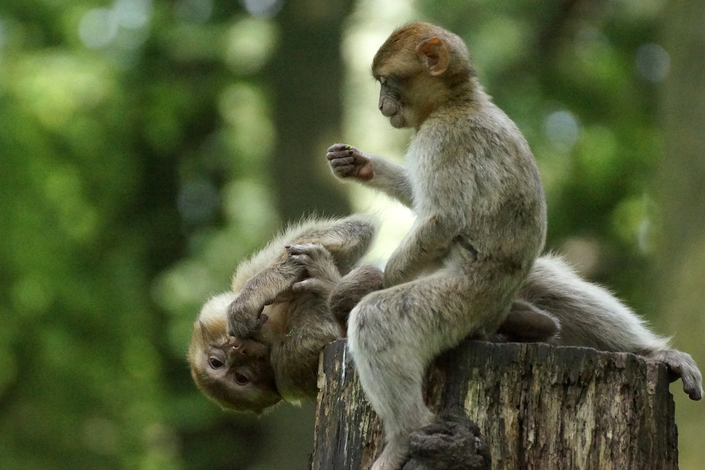 2 monkeys on a tree stump (pt.3) - Barbary Macaques - Berberaffen