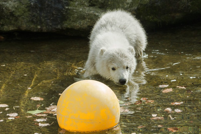 Eisbärjunges Quintana