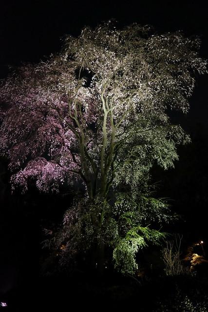 第二のしだれ桜(鶴姫のしだれ桜)04