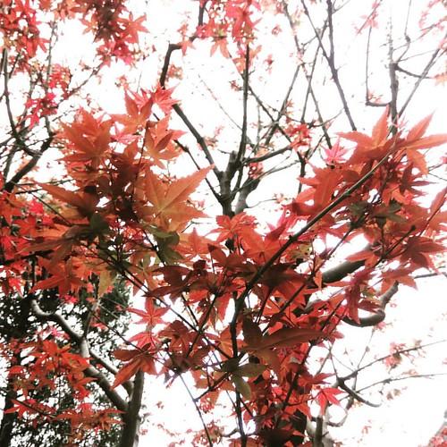 四月的楓葉。這個角度是心型的,你看到了嗎?