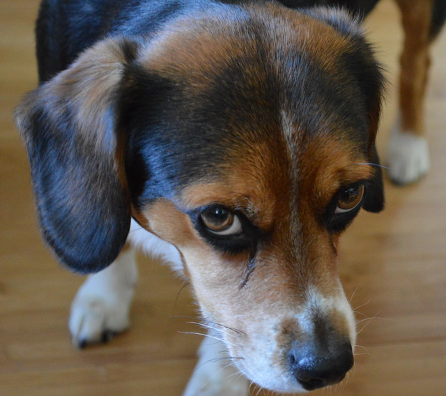 Beagle/Australian Shepherd Mix Dogs | Flickr