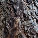Fur of the Redwood