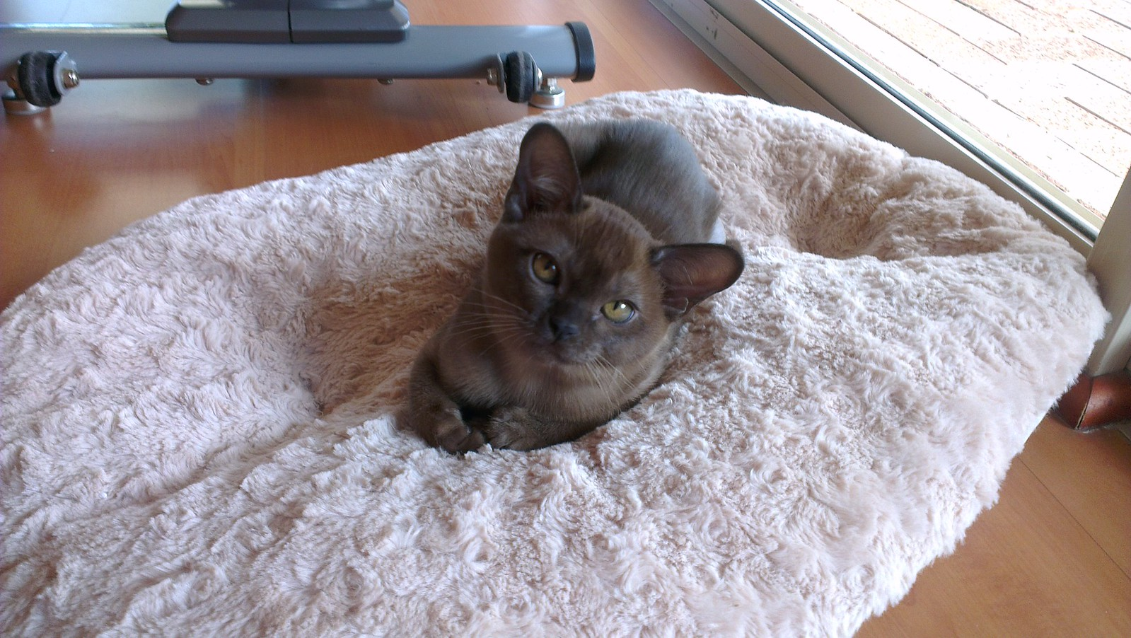 Burmese Kittens Natmac Burmese for sale available kittens